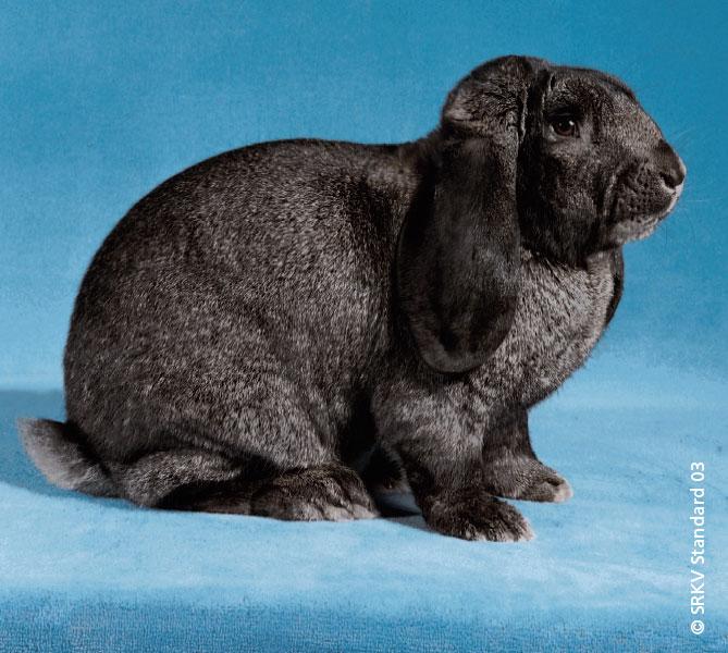 Le lapin Bélier