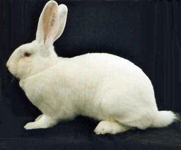 lapin géant blanc bouscat
